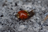 macro photo of ladybug