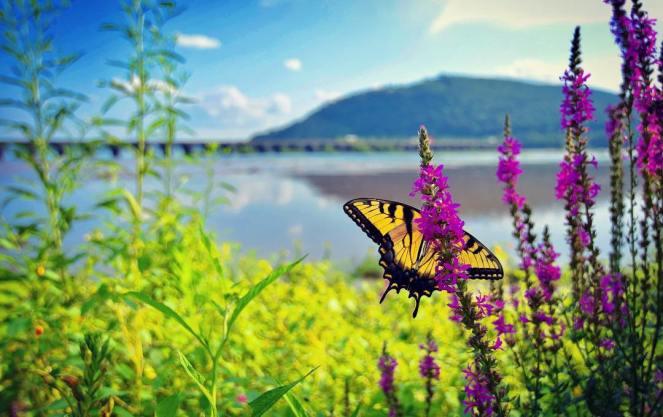 Eastern Tiger swallowtail butterfly purple loosestrife flowers Rockville bridge Harrisburg